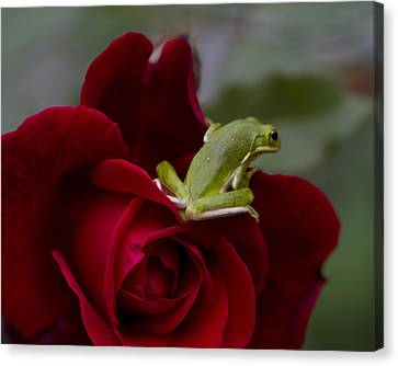 Frogs And Roses Canvas Print by Kathy Clark