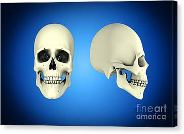 Front View And Side View Of Human Skull Canvas Print by Stocktrek Images