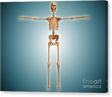 Front View Of Human Skeletal System Canvas Print by Stocktrek Images