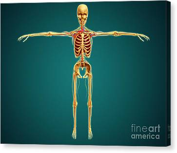 Ulnar Nerves Canvas Print - Front View Of Human Skeleton by Stocktrek Images