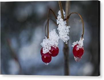 Frost Berries Canvas Print by Ted Raynor