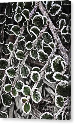 Frost On Plant Branch In Late Fall Canvas Print by Elena Elisseeva