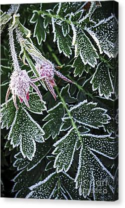 Frost On Plants In Late Fall Canvas Print by Elena Elisseeva