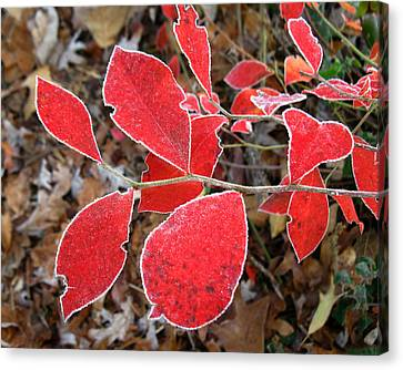 Frosted Blueberry Leaves Canvas Print by William Tanneberger