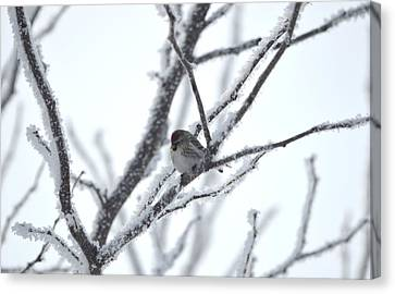 Canvas Print featuring the photograph Frosted Branches by Dacia Doroff