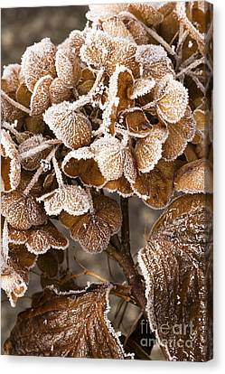 Frosted Hydrangea Canvas Print by Anne Gilbert