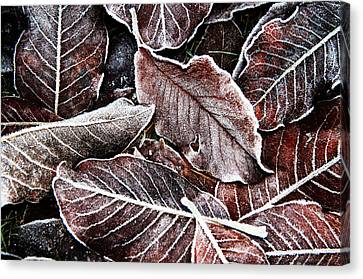 Frosted Leaves Canvas Print by John Bushnell