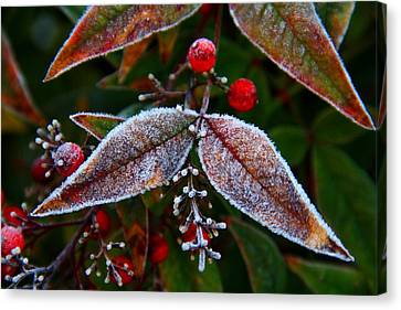 Frosted Nandina Leaves Canvas Print by Kathryn Meyer