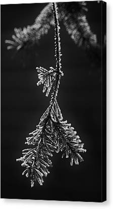 Frosted Pine Branch Canvas Print