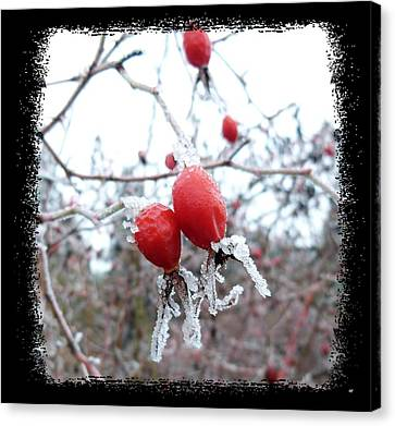 Frosted Rosehips Canvas Print by Will Borden