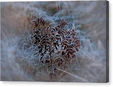 Frosted Rugosa Canvas Print by Susan Capuano