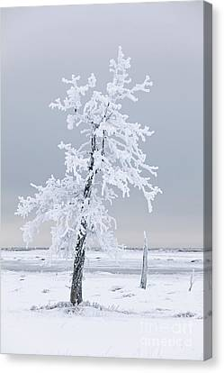 Frosted Tree Canvas Print by Tim Grams