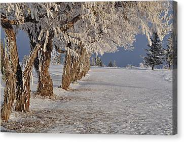Canvas Print featuring the photograph Frosted Trees by Fran Riley