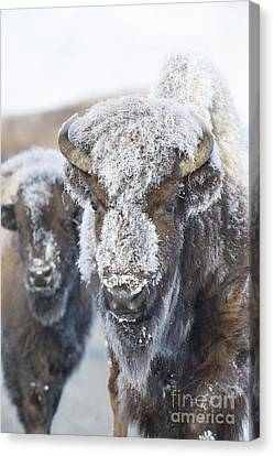 Frosty Bison Canvas Print by Deby Dixon