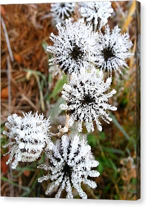Frosty Buttonweed Canvas Print