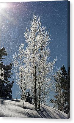 Frosty Colorado Aspen Canvas Print