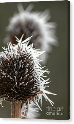 Frosty Coneflowers Canvas Print