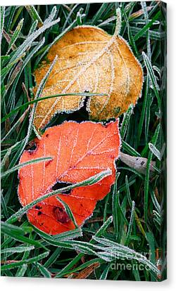 Frosty Leaves Canvas Print by Elena Elisseeva