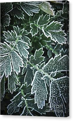 Frosty Leaves In Late Fall Canvas Print by Elena Elisseeva