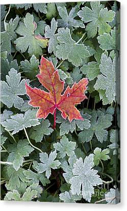 Frosty Maple Leaf Canvas Print