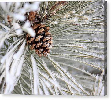 Frosty Norway Pine Canvas Print by Penny Meyers