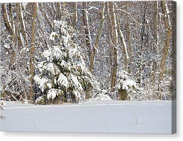 Canvas Print featuring the photograph Frosty Pine by Dacia Doroff