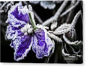 Frosty Purple Flower In Late Fall Canvas Print by Elena Elisseeva