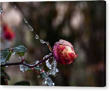 Froze Rose Canvas Print