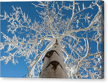 Frozen Bare Tree In Winter Against Blue Canvas Print by Pete Mcbride