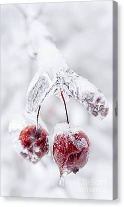 Frozen Crab Apples On Icy Branch Canvas Print by Elena Elisseeva