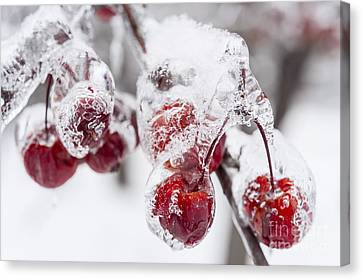 Frozen Crab Apples On Snowy Branch Canvas Print by Elena Elisseeva