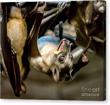 Fruit Bat Fedding Time Canvas Print