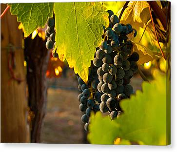 Grape Vines Canvas Print - Fruit Of The Vine by Bill Gallagher