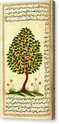 Fruit Tree Canvas Print by British Library