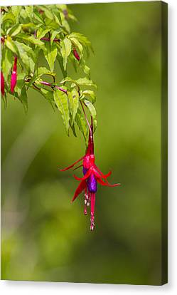 Fuchsia Blossoms Canvas Print by Tim Grams