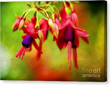 Fuschia Canvas Print - Fuchsia by Darren Fisher