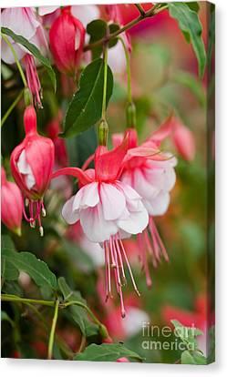 Fuchsia Flowers Canvas Print by Ruth Black