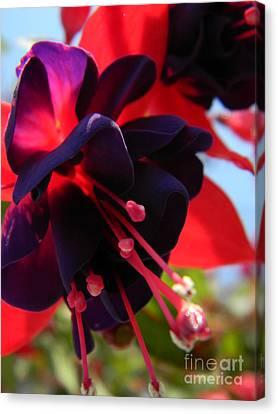 Fuchsia In Full Bloom Canvas Print