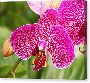 Fuchsia Moth Orchid Canvas Print by Rona Black