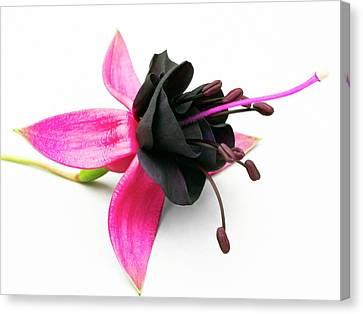 Perennial Canvas Print - Fuchsia 'new Millennium' Flower by Ian Gowland