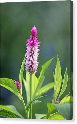 Fuchsia Spike Canvas Print by Suzanne Gaff
