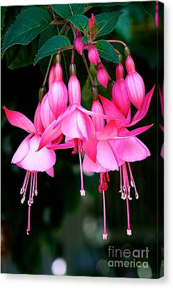 Canvas Print featuring the photograph Fuchsia  by Vinnie Oakes