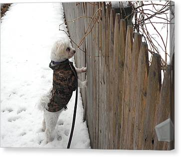 White Maltese Canvas Print - Fuji Waiting For His Buddies by Kate Gallagher