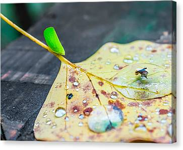 Canvas Print featuring the photograph Fulgoroidea On A Leaf by Rob Sellers
