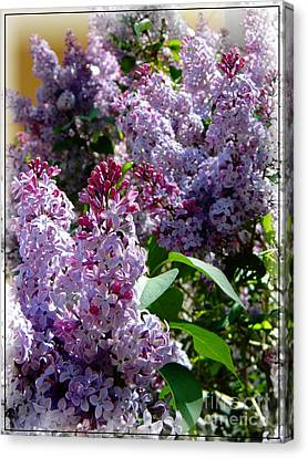 Full Bloom Lilacs Canvas Print by Michelle Frizzell-Thompson
