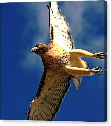 Full Flight Canvas Print by Rebecca Adams