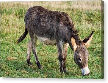 Full Grown Donkey Grazing Canvas Print