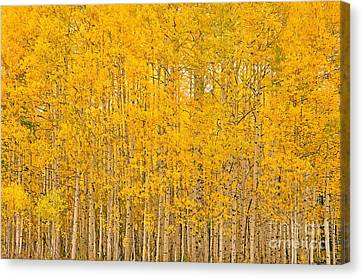 Fullness Of Gold Canvas Print