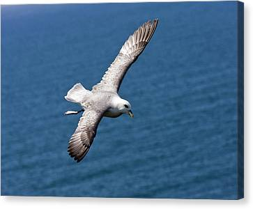 Fulmar In Flight Canvas Print