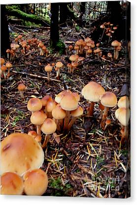 Fungi Forest Canvas Print by Steven Valkenberg